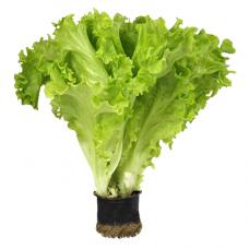 Салат Афицион в кг RZ