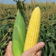 Кукуруза Саммер Свит Прайм F1 (5000шт) Smart Agro