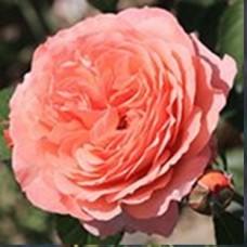 Роза Абрахам Дерби (шраб) розов