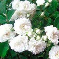 Роза Альба (ПП) белая