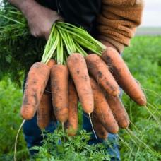 Морковь Кардифф F1 1,8-2,0 (100000шт) ран. ВЕ