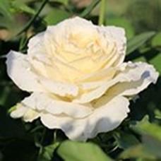Роза Айсберг (Ф) белая