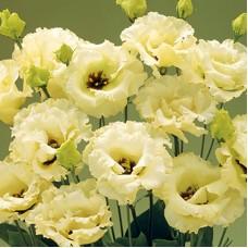 Лизиантус (эустома) крупноцветковый Колелли 3 Жёлтый 5шт Элитные семена