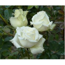 Роза Айсленд (ЧГ) бело-зеленая