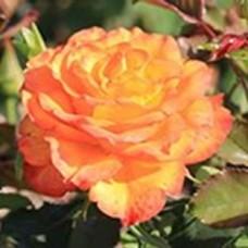 Роза Амбианс (ЧГ) желт с малин