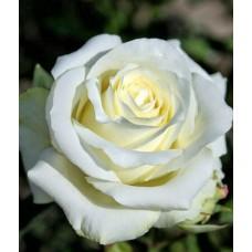 Роза Анастасия (ЧГ) белая