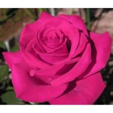 Роза Топаз (ЧГ)