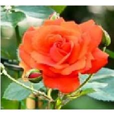 Роза Аве Мария (ЧГ) лосос