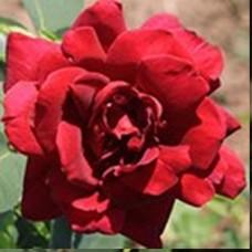Роза Алма-Атинская (ЧГ) темно-красн