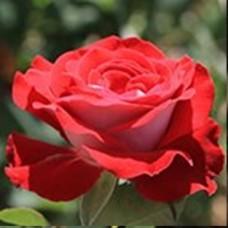 Роза Альянс (ЧГ) красн с белым