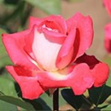 Роза Амазонка (ЧГ) белая с роз каймой