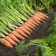 Морковь Каскад F1 (100000шт) фр.1,6-1,8 ВЕ