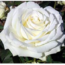 Роза Аваланч (ЧГ) белая