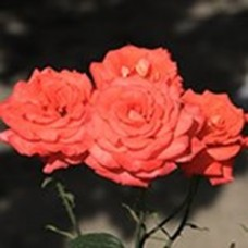 Роза Анжелика (ЧГ) лосос