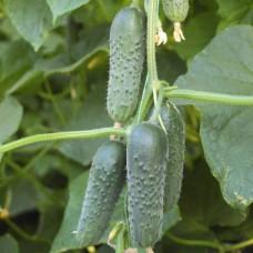 Огурец Маша F1 S 5 шт Элитные семена